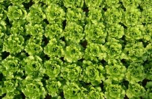 Lettuce (Greenhouse)
