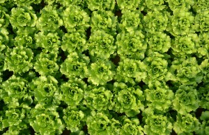 Lettuce (Greenhouse)