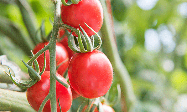 Blog-Image-Gallery---Greenhouse-Tomatoes