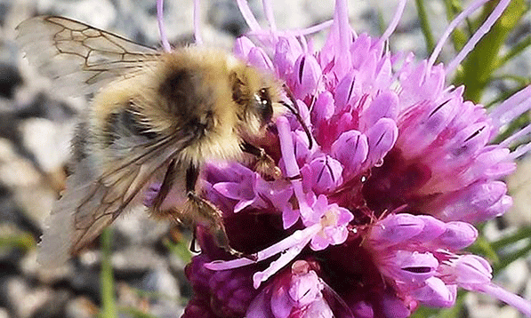 Blog-Image-Gallery-May-Pollinators-2