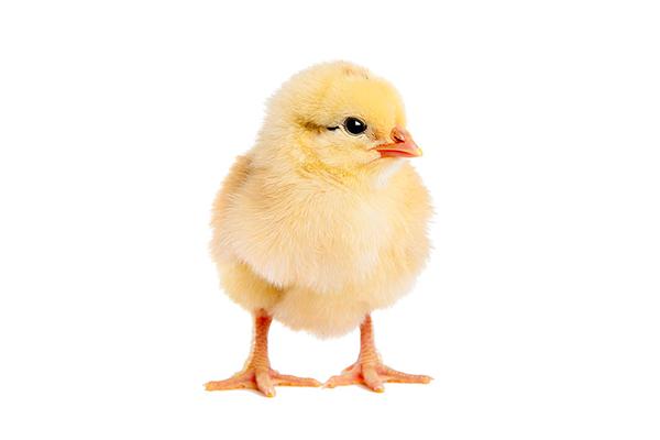 Chick - homepage